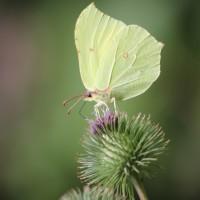 Citron (Gonepteryx rhamni) ©R.Deschamps/PNRCQ