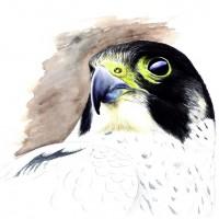 Faucon pélerin © J. Vergne
