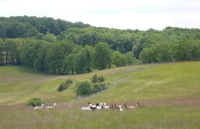 Alpagas du Quercy 5 - Frayssinet