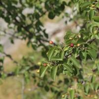 Cerisier de Ste Lucie ©R. Deschamps