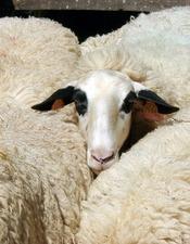 [Annulé] La  Brebis des Causses du Lot : sa laine et ses usages au fil du temps