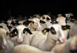 Les moutons à lunettes du Quercy