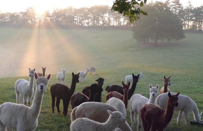 Alpagas du Quercy 1 - Frayssinet